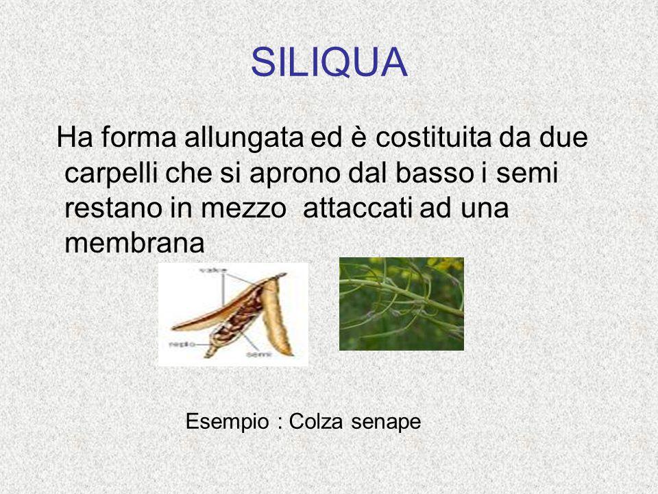 SILIQUA Ha forma allungata ed è costituita da due carpelli che si aprono dal basso i semi restano in mezzo attaccati ad una membrana Esempio : Colza s