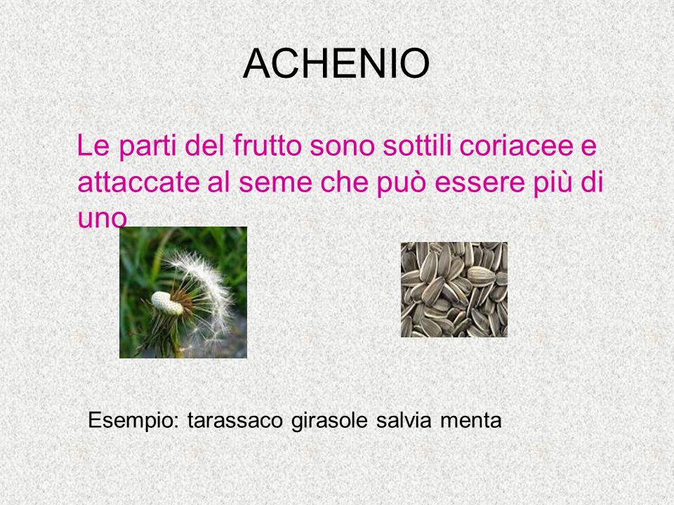 ACHENIO Le parti del frutto sono sottili coriacee e attaccate al seme che può essere più di uno Esempio: tarassaco girasole salvia menta