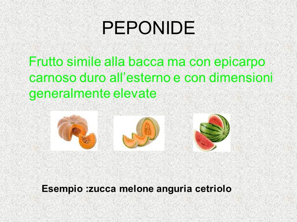 PEPONIDE Frutto simile alla bacca ma con epicarpo carnoso duro all'esterno e con dimensioni generalmente elevate Esempio :zucca melone anguria cetriol