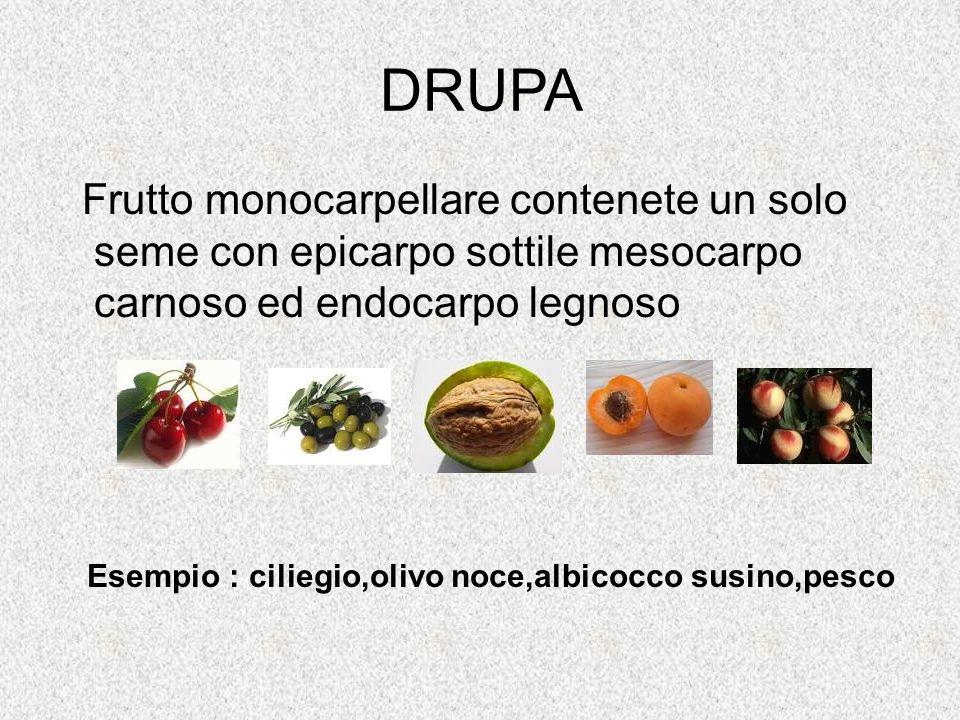 DRUPA Frutto monocarpellare contenete un solo seme con epicarpo sottile mesocarpo carnoso ed endocarpo legnoso Esempio : ciliegio,olivo noce,albicocco