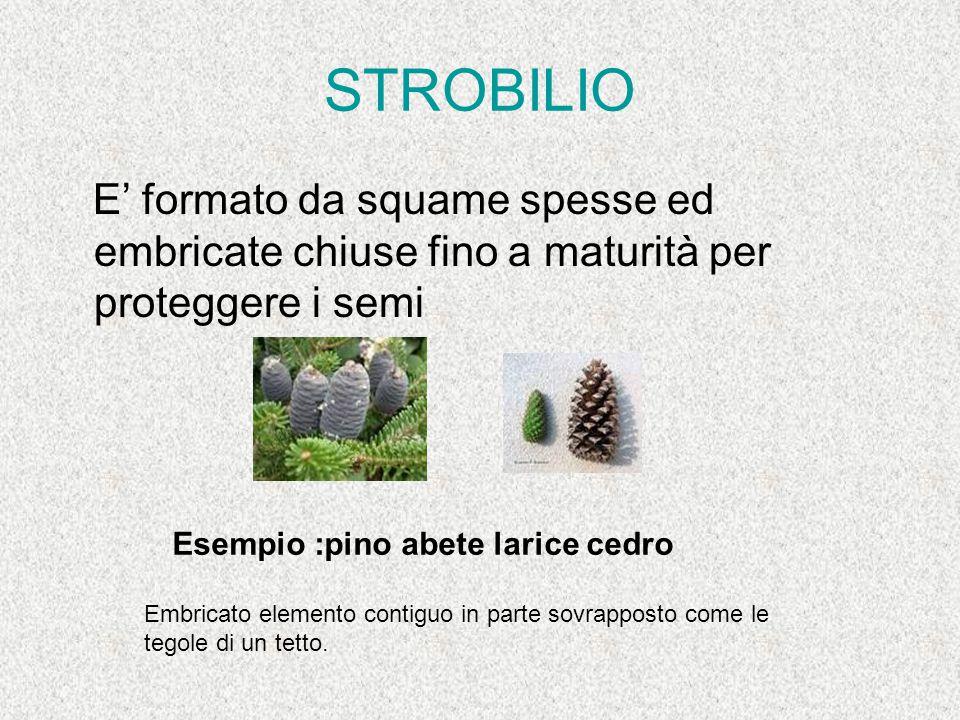 STROBILIO E' formato da squame spesse ed embricate chiuse fino a maturità per proteggere i semi Esempio :pino abete larice cedro Embricato elemento co