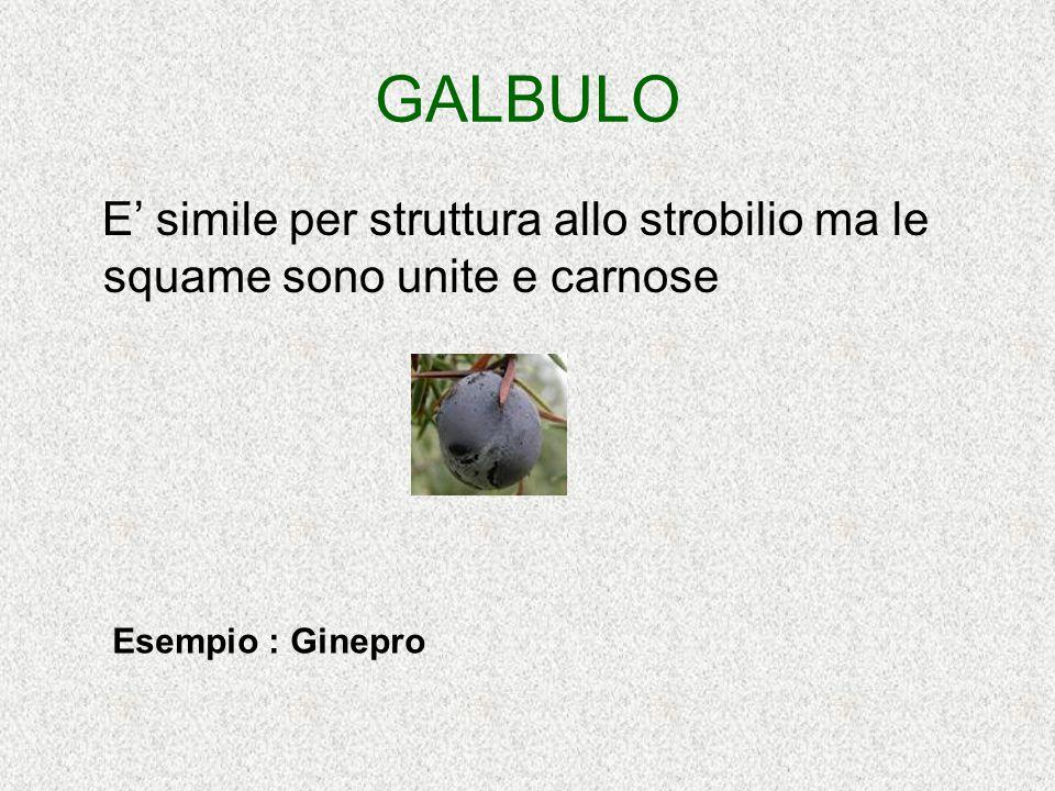 GALBULO E' simile per struttura allo strobilio ma le squame sono unite e carnose Esempio : Ginepro