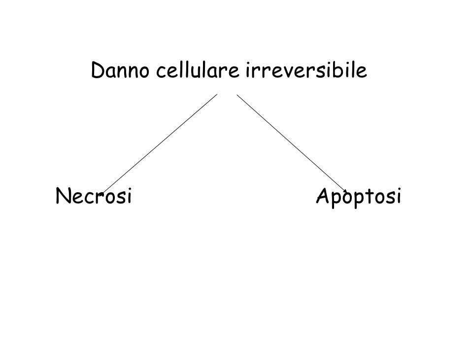 Necrosi Digestione enzimatica della cellula Denaturazione delle proteine Aspetto generale = eosinofilia Le proteine denaturate sono più eosinofile Perdita della basofilia dell'RNA