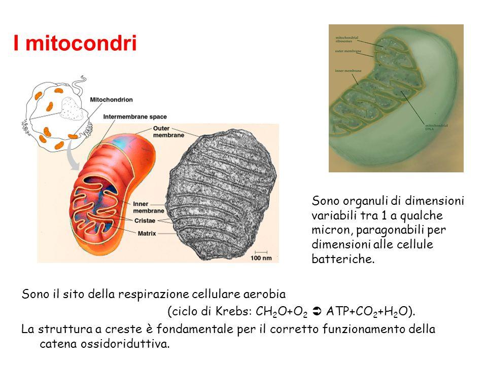 I mitocondri Sono organuli di dimensioni variabili tra 1 a qualche micron, paragonabili per dimensioni alle cellule batteriche. Sono il sito della res