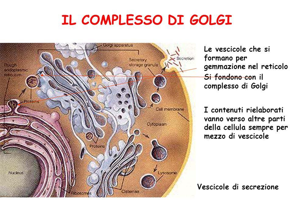 IL COMPLESSO DI GOLGI Le vescicole che si formano per gemmazione nel reticolo Si fondono con il complesso di Golgi I contenuti rielaborati vanno verso