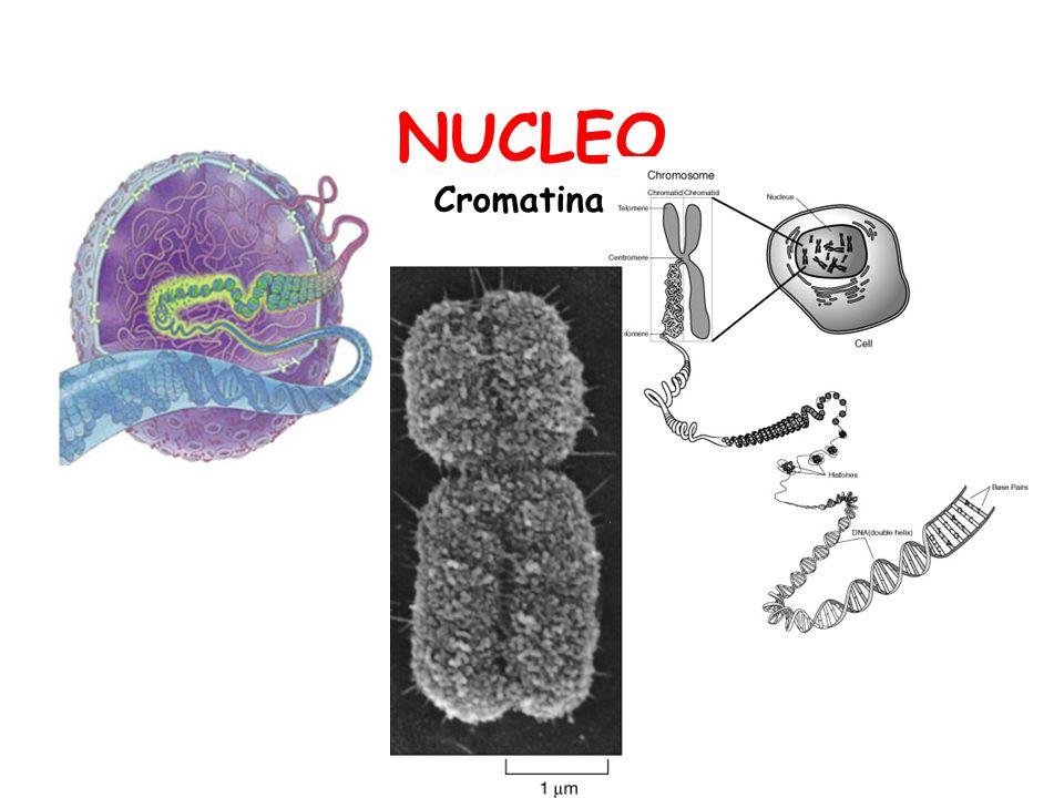 NUCLEO Cromatina
