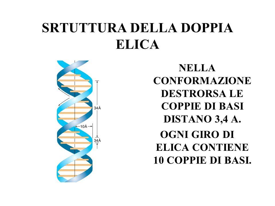SRTUTTURA DELLA DOPPIA ELICA NELLA CONFORMAZIONE DESTRORSA LE COPPIE DI BASI DISTANO 3,4 A. OGNI GIRO DI ELICA CONTIENE 10 COPPIE DI BASI.