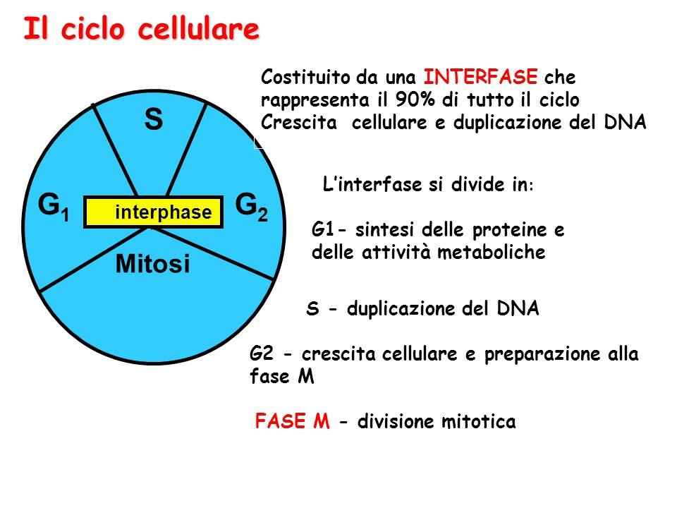 Il ciclo cellulare Mitosi G1G1 G2G2 S interphase Costituito da una INTERFASE che rappresenta il 90% di tutto il ciclo Crescita cellulare e duplicazion