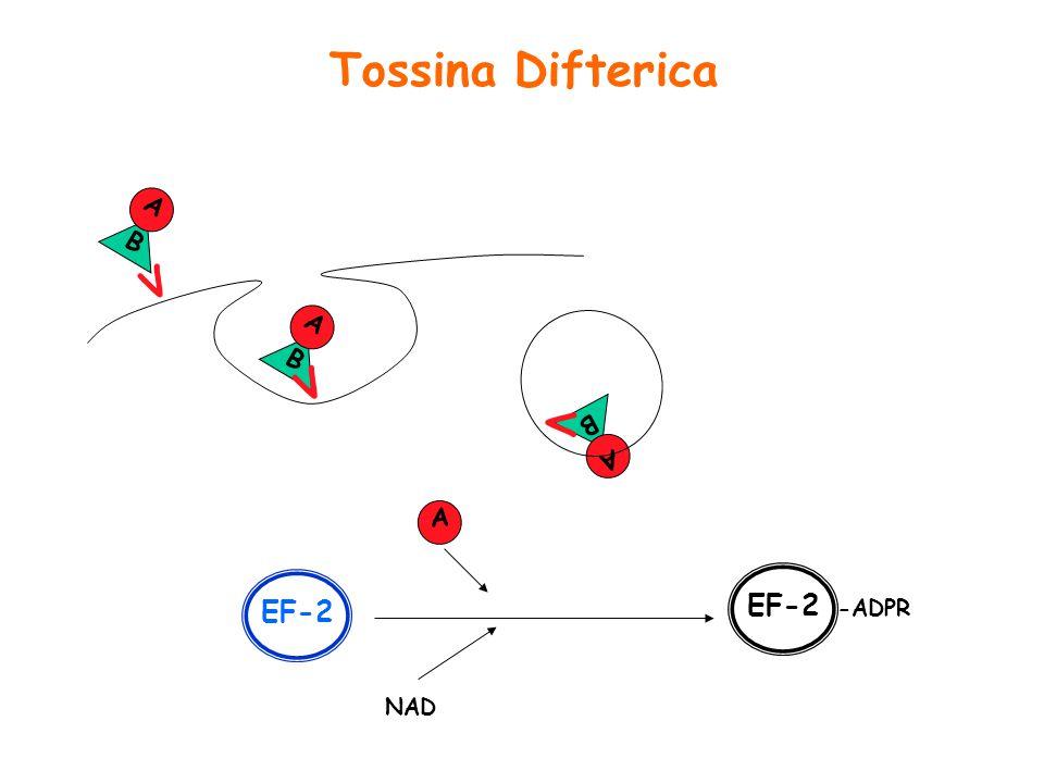Tossina Difterica B A V B A V B A V A EF-2 NAD -ADPR