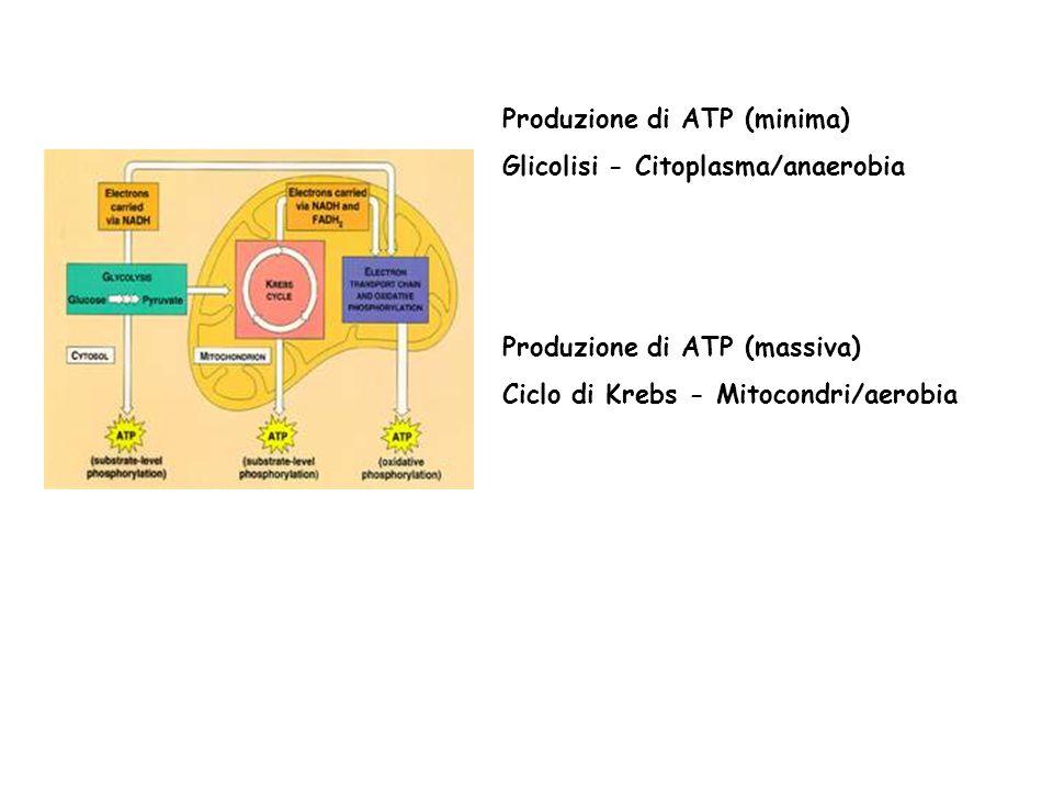 Produzione di ATP (minima) Glicolisi - Citoplasma/anaerobia Produzione di ATP (massiva) Ciclo di Krebs - Mitocondri/aerobia