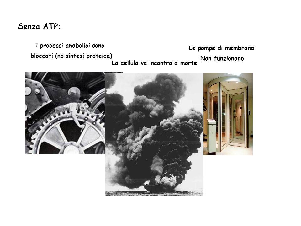 Senza ATP: i processi anabolici sono bloccati (no sintesi proteica) Le pompe di membrana Non funzionano La cellula va incontro a morte