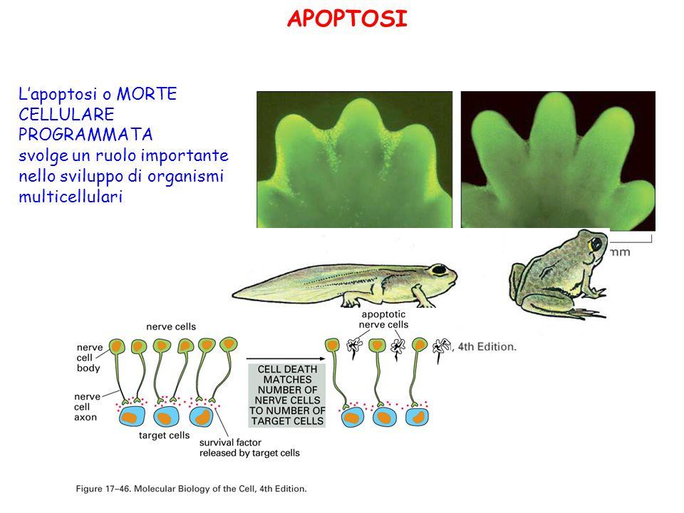 APOPTOSI L'apoptosi o MORTE CELLULARE PROGRAMMATA svolge un ruolo importante nello sviluppo di organismi multicellulari