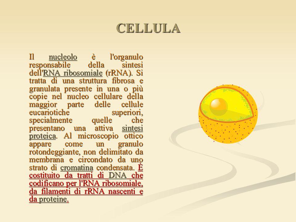 CELLULA Il nucleolo è l'organulo responsabile della sintesi dell'RNA ribosomiale (rRNA). Si tratta di una struttura fibrosa e granulata presente in un