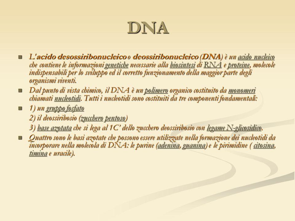 DNA L'acido desossiribonucleico o deossiribonucleico (DNA) è un acido nucleico che contiene le informazioni genetiche necessarie alla biosintesi di RN
