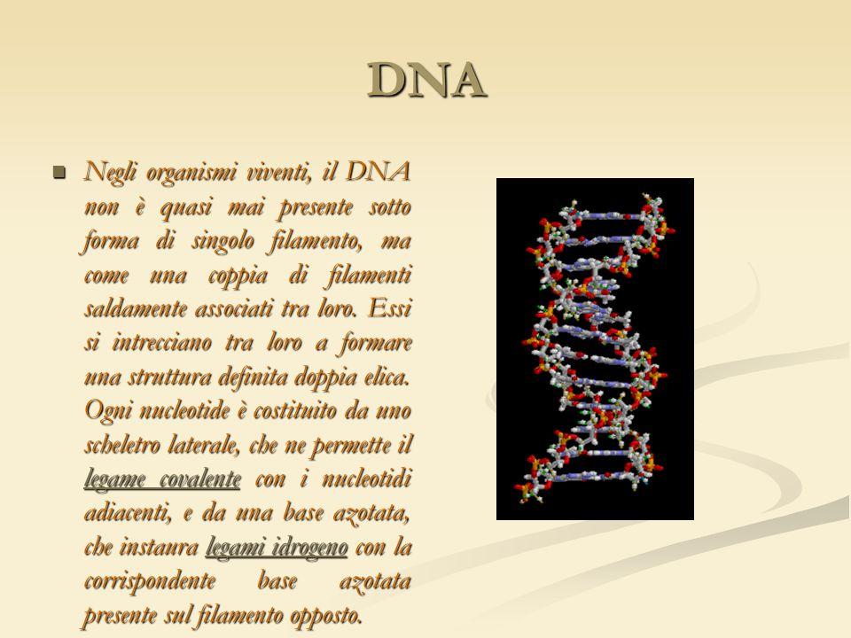 DNA Negli organismi viventi, il DNA non è quasi mai presente sotto forma di singolo filamento, ma come una coppia di filamenti saldamente associati tr