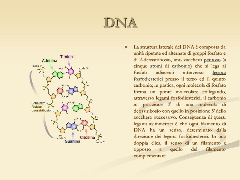 DNA La struttura laterale del DNA è composta da unità ripetute ed alternate di gruppi fosfato e di 2-deossiribosio, uno zucchero pentoso (a cinque ato