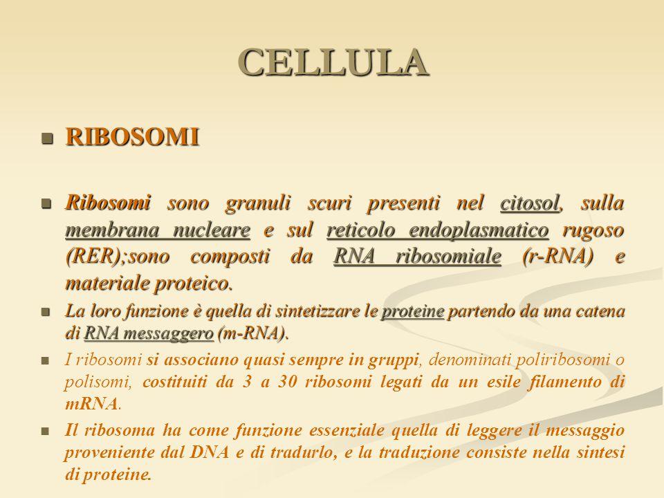 CELLULA RIBOSOMI RIBOSOMI Ribosomi sono granuli scuri presenti nel citosol, sulla membrana nucleare e sul reticolo endoplasmatico rugoso (RER);sono co