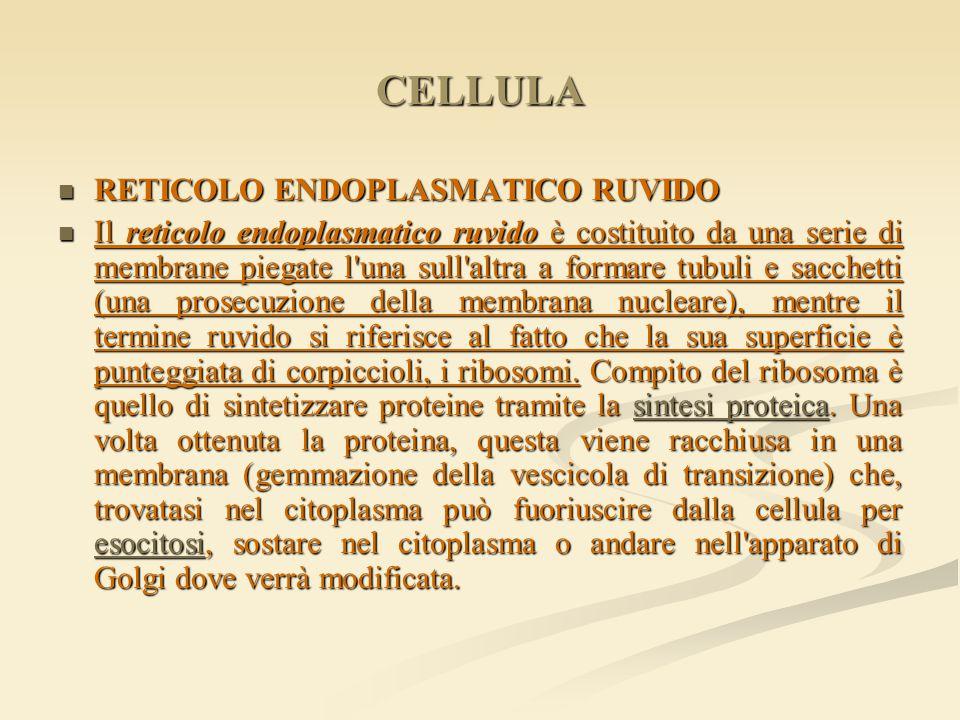 CELLULA RETICOLO ENDOPLASMATICO RUVIDO RETICOLO ENDOPLASMATICO RUVIDO Il reticolo endoplasmatico ruvido è costituito da una serie di membrane piegate