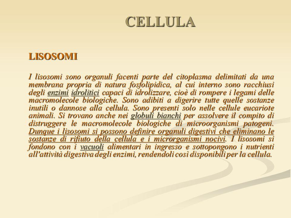 CELLULA LISOSOMI I lisosomi sono organuli facenti parte del citoplasma delimitati da una membrana propria di natura fosfolipidica, al cui interno sono
