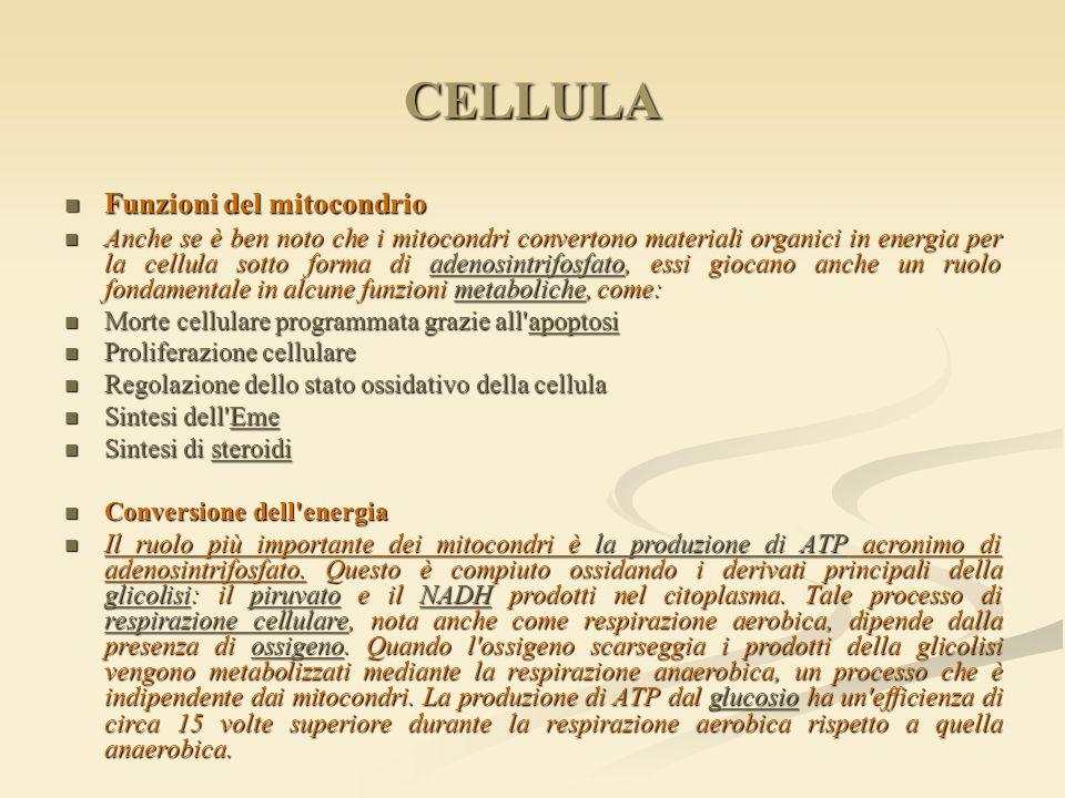 CELLULA Funzioni del mitocondrio Funzioni del mitocondrio Anche se è ben noto che i mitocondri convertono materiali organici in energia per la cellula