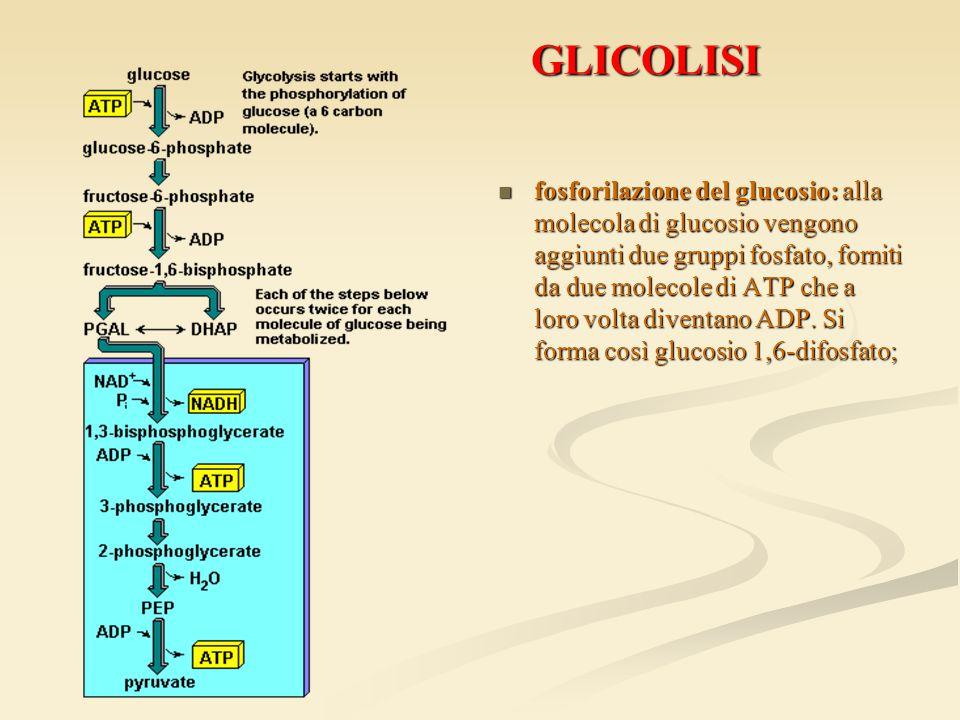 GLICOLISI GLICOLISI fosforilazione del glucosio: alla molecola di glucosio vengono aggiunti due gruppi fosfato, forniti da due molecole di ATP che a l