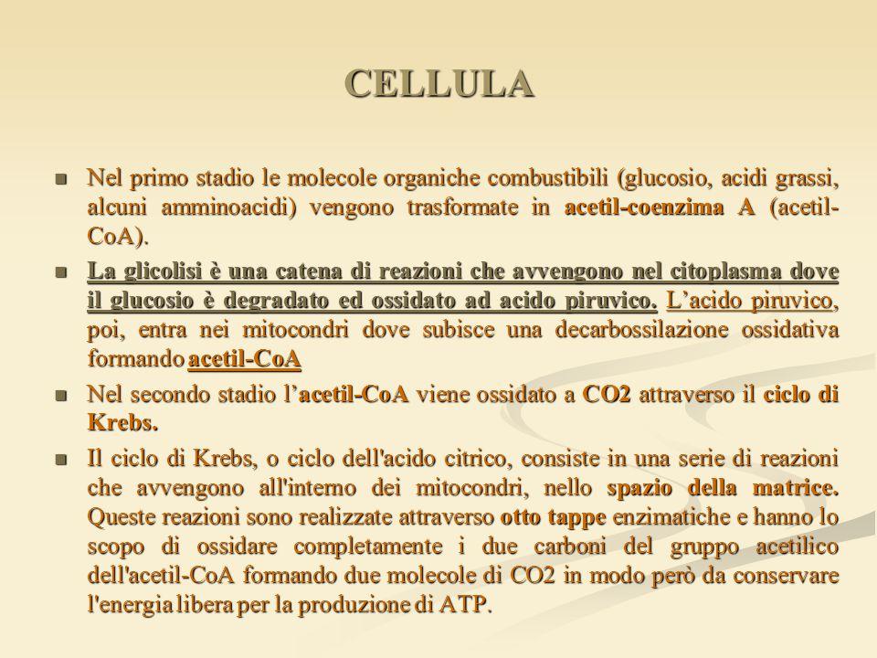 CELLULA Nel primo stadio le molecole organiche combustibili (glucosio, acidi grassi, alcuni amminoacidi) vengono trasformate in acetil-coenzima A (ace