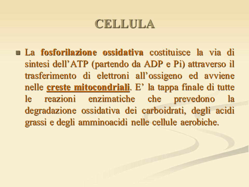 CELLULA La fosforilazione ossidativa costituisce la via di sintesi dell'ATP (partendo da ADP e Pi) attraverso il trasferimento di elettroni all'ossige
