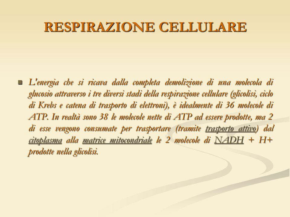 RESPIRAZIONE CELLULARE L'energia che si ricava dalla completa demolizione di una molecola di glucosio attraverso i tre diversi stadi della respirazion
