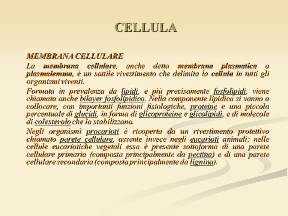 MEMBRANA CELLULARE La membrana cellulare, anche detta membrana plasmatica o plasmalemma, è un sottile rivestimento che delimita la cellula in tutti gl