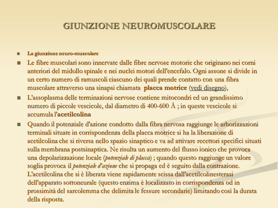 GIUNZIONE NEUROMUSCOLARE La giunzione neuro-muscolare La giunzione neuro-muscolare Le fibre muscolari sono innervate dalle fibre nervose motorie che o
