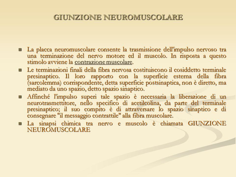 GIUNZIONE NEUROMUSCOLARE La placca neuromuscolare consente la trasmissione dell'impulso nervoso tra una terminazione del nervo motore ed il muscolo. I