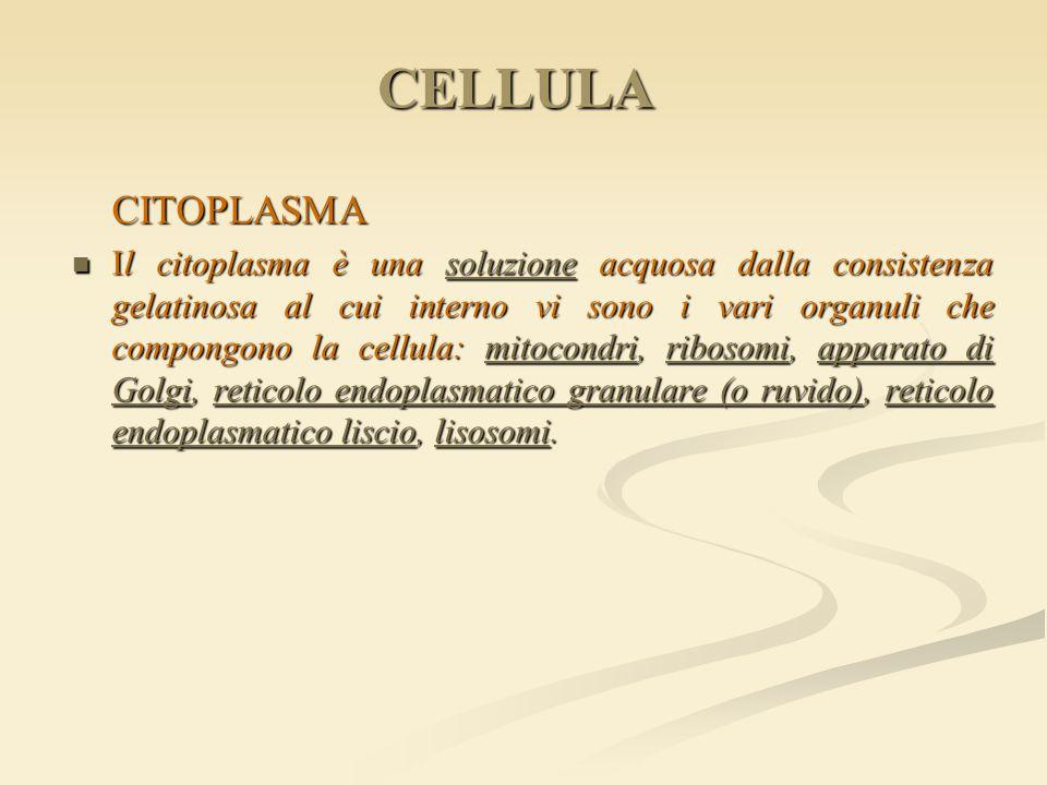 CELLULA CITOPLASMA Il citoplasma è una soluzione acquosa dalla consistenza gelatinosa al cui interno vi sono i vari organuli che compongono la cellula