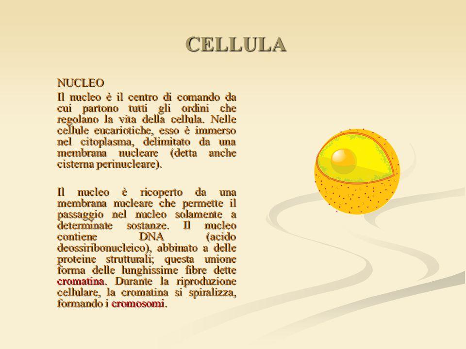 CELLULA CELLULA NUCLEO NUCLEO Il nucleo è il centro di comando da cui partono tutti gli ordini che regolano la vita della cellula. Nelle cellule eucar