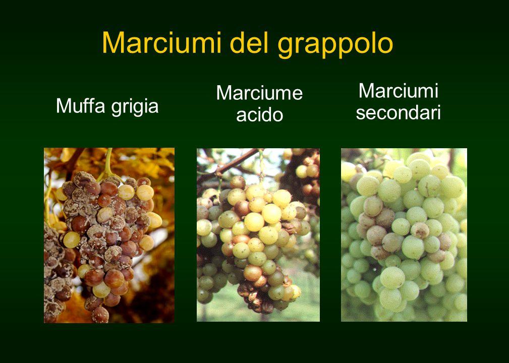 Marciumi del grappolo Muffa grigia Marciume acido Marciumi secondari
