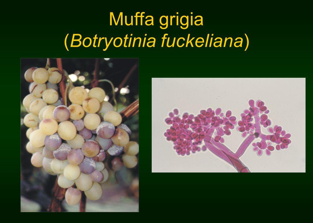 Muffa grigia (Botryotinia fuckeliana)
