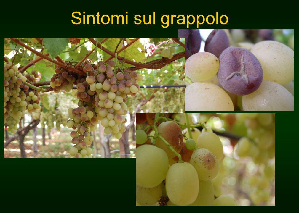 Sintomi sul grappolo
