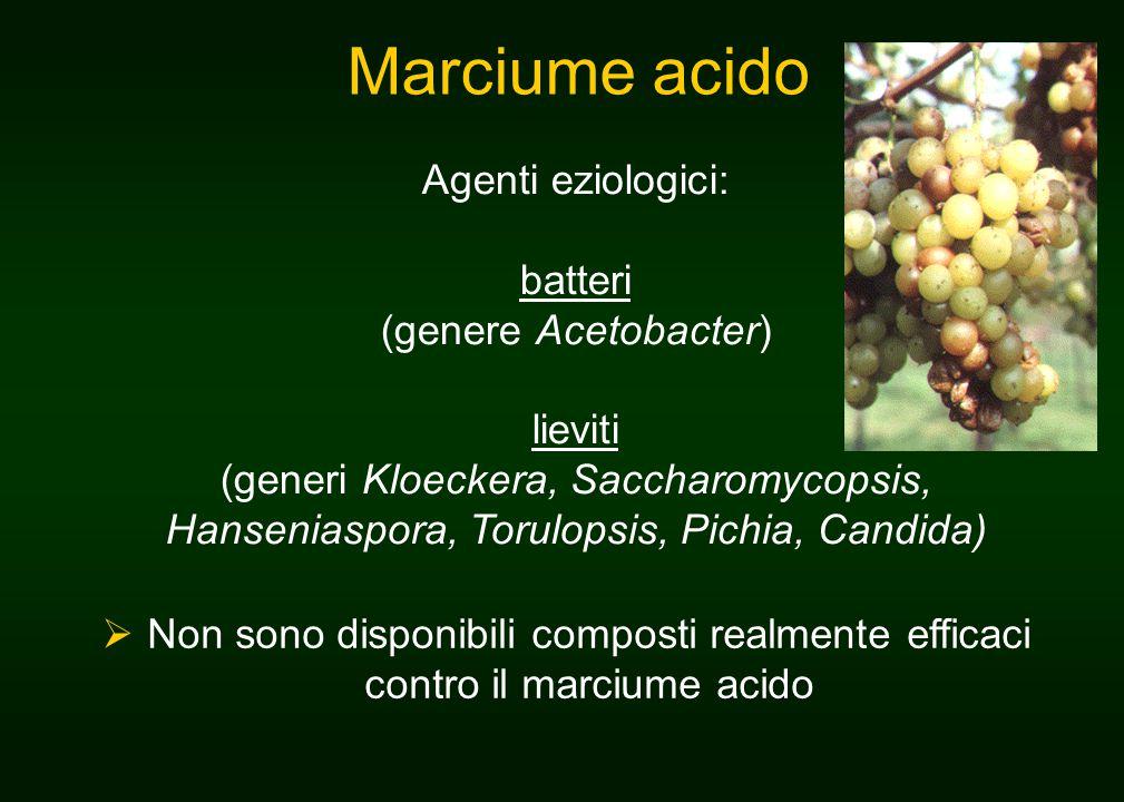 Marciume acido Agenti eziologici: batteri (genere Acetobacter) lieviti (generi Kloeckera, Saccharomycopsis, Hanseniaspora, Torulopsis, Pichia, Candida)  Non sono disponibili composti realmente efficaci contro il marciume acido