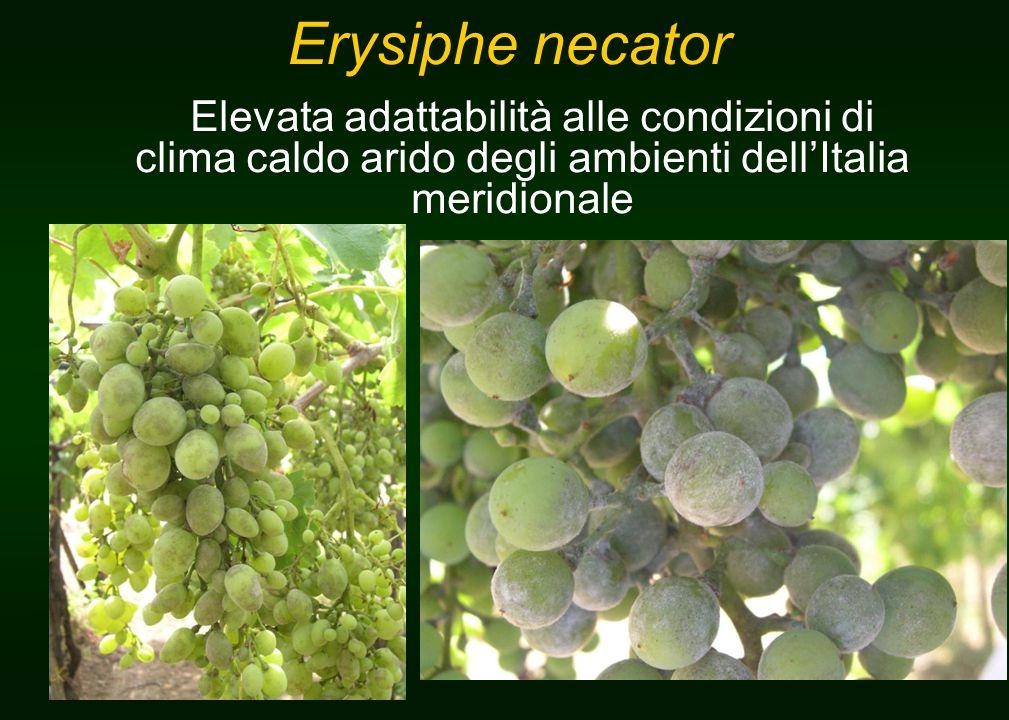 Erysiphe necator Elevata adattabilità alle condizioni di clima caldo arido degli ambienti dell'Italia meridionale
