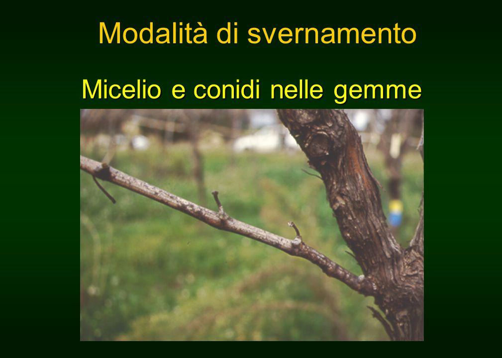 Micelio e conidi nelle gemme Modalità di svernamento