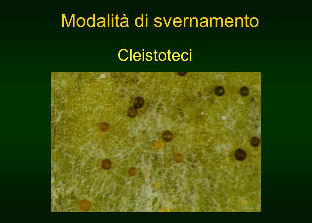Cleistoteci