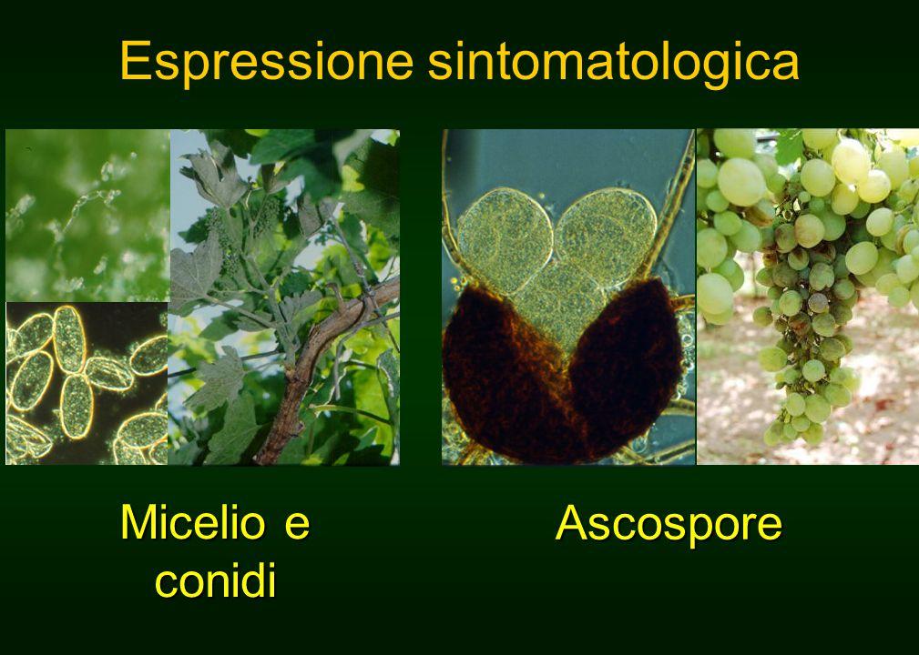 Micelio e conidi Ascospore Espressione sintomatologica