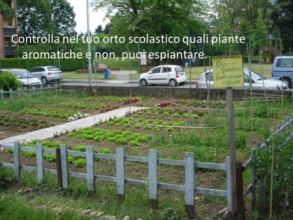 Controlla nel tuo orto scolastico quali piante aromatiche e non, puoi espiantare.