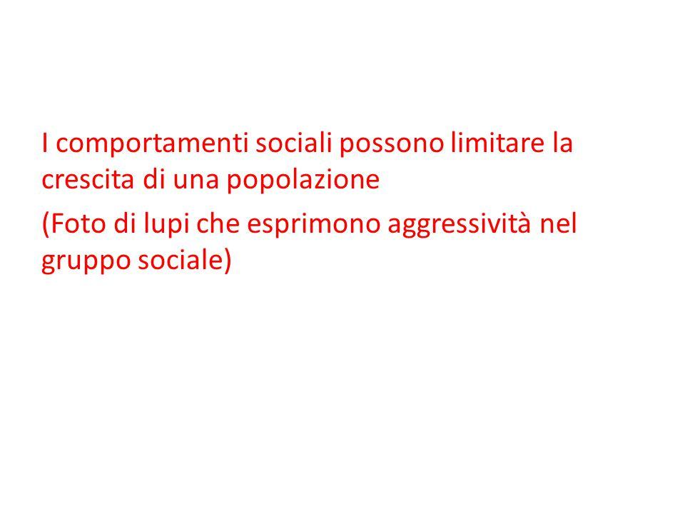 I comportamenti sociali possono limitare la crescita di una popolazione (Foto di lupi che esprimono aggressività nel gruppo sociale)