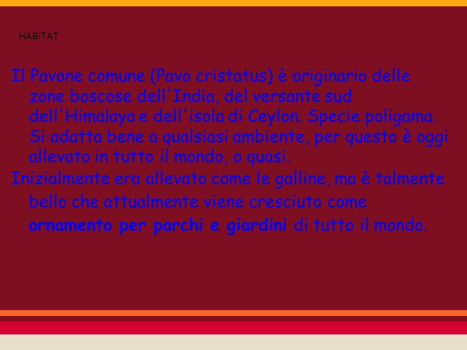 HABITAT Il Pavone comune (Pavo cristatus) è originario delle zone boscose dell'India, del versante sud dell'Himalaya e dell'isola di Ceylon. Specie po