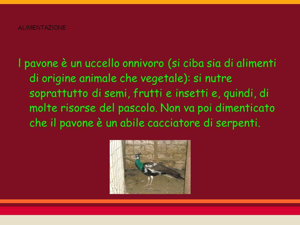 ALIMENTAZIONE l pavone è un uccello onnivoro (si ciba sia di alimenti di origine animale che vegetale): si nutre soprattutto di semi, frutti e insetti
