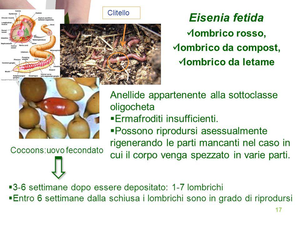 Eisenia fetida lombrico rosso, lombrico da compost, lombrico da letame Anellide appartenente alla sottoclasse oligocheta  Ermafroditi insufficienti.