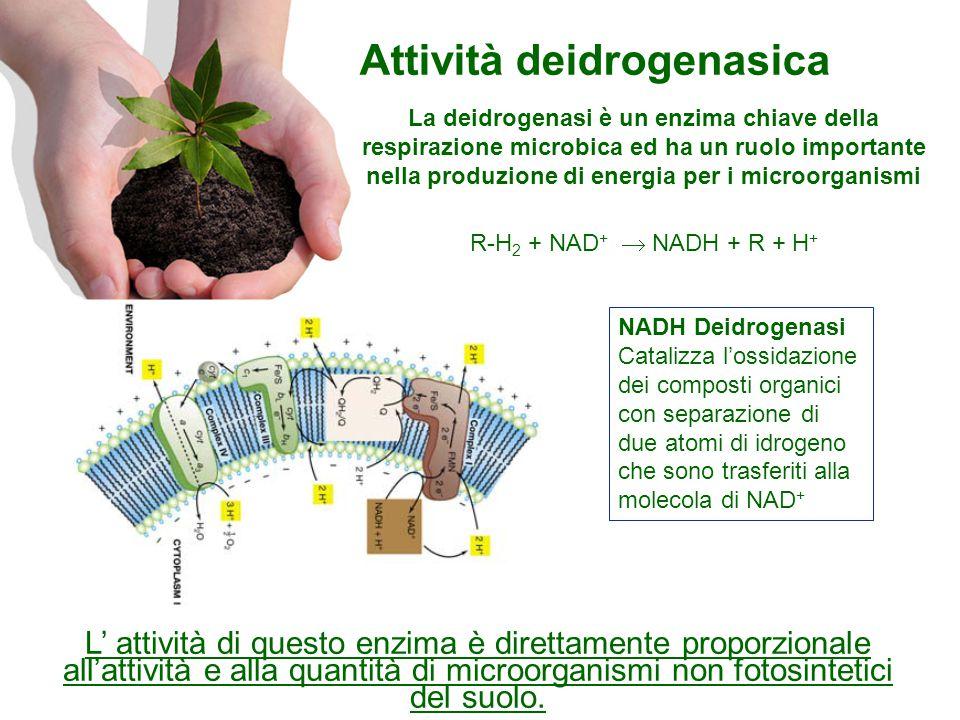 Attività deidrogenasica R-H 2 + NAD +  NADH + R + H + L' attività di questo enzima è direttamente proporzionale all'attività e alla quantità di microorganismi non fotosintetici del suolo.