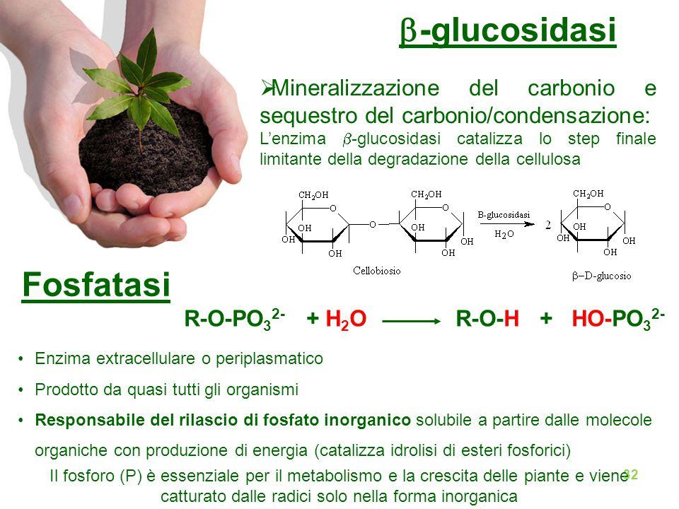  Mineralizzazione del carbonio e sequestro del carbonio/condensazione: L'enzima  -glucosidasi catalizza lo step finale limitante della degradazione della cellulosa  -glucosidasi Fosfatasi Enzima extracellulare o periplasmatico Prodotto da quasi tutti gli organismi Responsabile del rilascio di fosfato inorganico solubile a partire dalle molecole organiche con produzione di energia (catalizza idrolisi di esteri fosforici) Il fosforo (P) è essenziale per il metabolismo e la crescita delle piante e viene catturato dalle radici solo nella forma inorganica R-O-PO 3 2- + H 2 O R-O-H + HO-PO 3 2- 32
