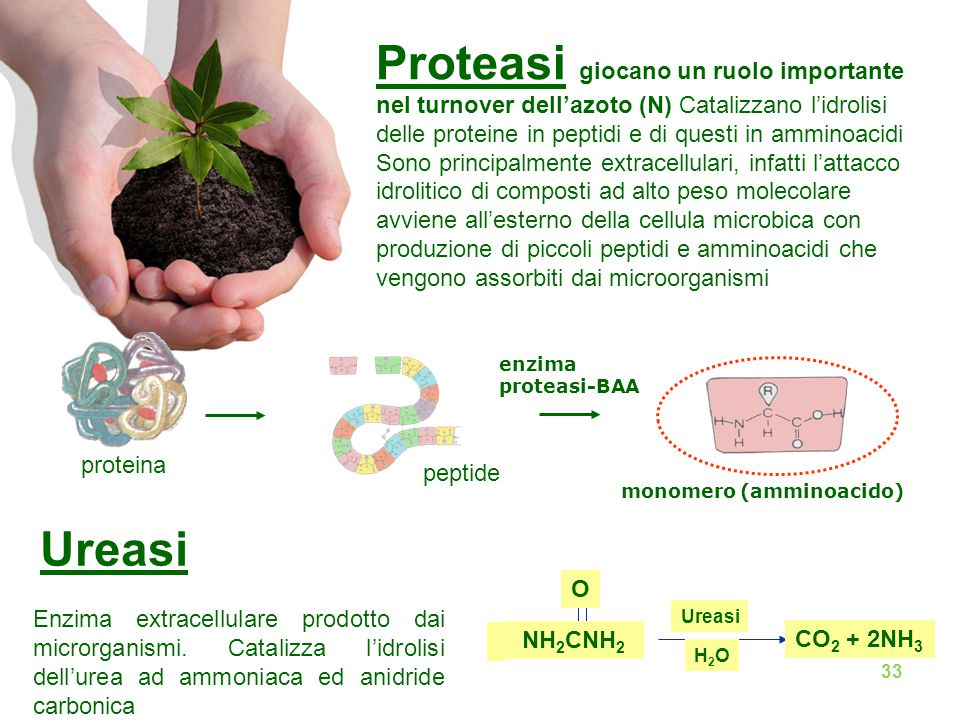 proteina enzima proteasi-BAA monomero (amminoacido) peptide Proteasi giocano un ruolo importante nel turnover dell'azoto (N) Catalizzano l'idrolisi delle proteine in peptidi e di questi in amminoacidi Sono principalmente extracellulari, infatti l'attacco idrolitico di composti ad alto peso molecolare avviene all'esterno della cellula microbica con produzione di piccoli peptidi e amminoacidi che vengono assorbiti dai microorganismi Ureasi NH 2 CNH 2 CO 2 + 2NH 3 H2OH2O O Ureasi Enzima extracellulare prodotto dai microrganismi.