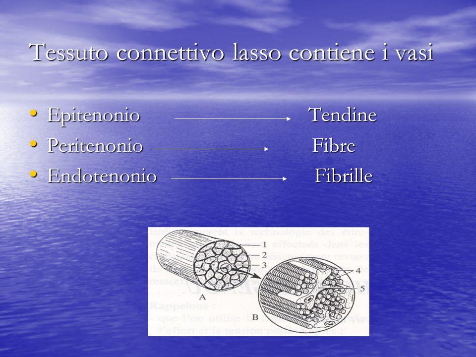 Tessuto connettivo lasso contiene i vasi Epitenonio Tendine Epitenonio Tendine Peritenonio Fibre Peritenonio Fibre Endotenonio Fibrille Endotenonio Fibrille